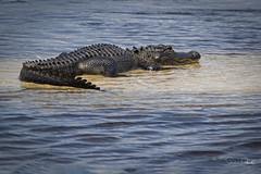 American Alligator (Stephen J Pollard (Loud Music Lover of Nature)) Tags: caimándelmississippi americanalligator alligatormississippiensis reptile réptil