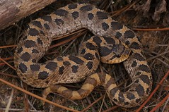 Southern Hognose (Heterodon simus) (Ian Deery) Tags: light macro scale nature closeup tooth ian nose sand natural many reptile snake sony sigma southern scales hood southeast hog eastern snakes rare sandhill herp reptiles venomous coiled deery hissing puffing 70mm nonvenomous hognose declining fieldguide heterodon a55 simus herping fieldherping