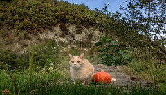 Me & My Pumpkin ♥ (Xena*best friend*) Tags: bradpitt bp pumpkin almosthalloween cats whiskers feline katzen gatto gato chats furry fur pussycat feral tiger pets kittens kitty animals piedmontitaly piemonte canoneos760d italy wood woods wildanimals wild paws calico markings ©allrightsreserved purr digitalrebelt6s flickr outdoor animal pet photo nature catlover autumn automne autunno outono iloveautumn meandmypumpkin happycaturday happyhalloween photogeniccats cc100 efs18135mmf3556isstm