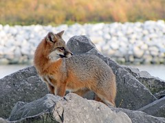 Falling For Gray (marylee.agnew) Tags: gray fox canine wildlife nature fall outdoor rocks water predator