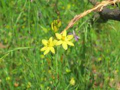 Bulbine bulbosa 1 (mncbirds) Tags: the blue mountains national park nsw australia aushp barry m ralley barrymralley bulbine bulbosa lily