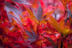 Maple magic (tonguedevil) Tags: outdoor outside countryside autumn nature garden trees acer maple leaves red colour light shadows
