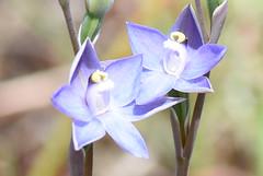 DSC_4184 slender sun orchid on my lawn (9) (jeaniephelan) Tags: orchid flower wildflower sunorchid scentedsunorchid greatsunorchid