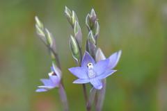 DSC_4184 Slender sun orchid on my lawn (8) (jeaniephelan) Tags: orchid flower wildflower sunorchid scentedsunorchid greatsunorchid