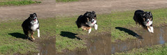 """A"" For Effort (jayvan) Tags: dash aussie australianshepherd dog happy water jump play park troutdale oregon"