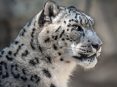 Majestic Cat (helenehoffman) Tags: snowleopard pantherauncia conservationstatusvulnerable centralasia mammal sandiegozoo feline carnivore animal alittlebeauty specanimal