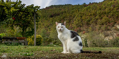 Richard Gere ♣ (Xena*best friend*) Tags: cats feline whiskers gato rg gatto katzen richardgere wood italy pets animals fur chats furry woods tiger kitty kittens piemonte pussycat feral piedmontitaly canoneos760d autumn wild pet nature animal photo flickr outdoor calico purr paws markings wildanimals catlover ©allrightsreserved digitalrebelt6s automne autunno outono iloveautumn efs18135mmf3556isstm