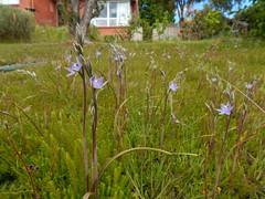 Slender sun orchids Thelymitra pauciflora my front yard Tasmania (2) (jeaniephelan) Tags: orchid sunorchid greatsunorchid flower wildflowersoftasmania