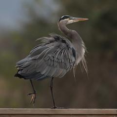 Great Blue Heron (nickinthegarden) Tags: greatblueheron willbandcreekpark abbotsfordbccanada