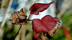 Blätter der Blasen / Fasanenspiere. (dl1ydn) Tags: dl1ydn nahaufnahmen manuell manualfocus closeup vintage carlzeiss planar 50mmf2 contarex nature garden autumn herbst