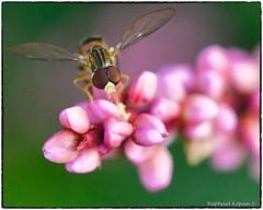 Syrphid fly on pinkweed (RKop) Tags: raphaelkopanphotography macro nikkor200f4macro insect cincinnati ohio