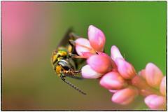 Augochlora Sweat Bee on pinkweed (RKop) Tags: raphaelkopanphotography macro nikkor200f4macro insect cincinnati ohio