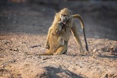 Keep Your Enemy Close (Glatz Nature Photography) Tags: africa botswana choberiver glatznaturephotography nature nikond850 wildanimal wildlife baboons chacmababoons sparring wrestling primates animals mammals papioursinus chobenationalpark