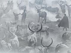 A Belén pastores. (elojeador) Tags: áfrica tribu animal pastor pastoreando cuerno ankole tierra humo polvo sebastiaosalgado fotografía foto byn hombre mujer exposición abelénchiquillos elojeador