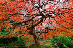 Arboreal Explosion (pdxsafariguy) Tags: portland oregon maple tree red foliage fall season autumn landscape serene usa leaves tranquil moss japanesegarden branches twisted fog portlandjapanesegarden rock acerpalmatum trunk bark garden tomschwabel