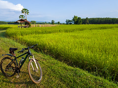 Rice paddies 10e (SierraSunrise) Tags: thailand phonphisai nongkhai isaan esarn farming agriculture grain rice ricepaddies ricepaddy paddyrice poaceae นา ข้าว