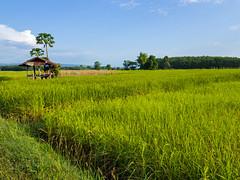 Rice paddies 8e (SierraSunrise) Tags: thailand phonphisai nongkhai isaan esarn farming agriculture grain rice ricepaddies ricepaddy paddyrice poaceae นา ข้าว