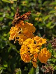 Skipper (Kelson) Tags: plants flowers nature butterflies fieryskipper lantana