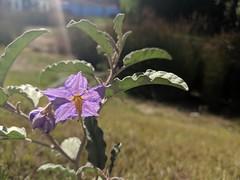 Silverleaf Nightshade (Kelson) Tags: plants flowers nature butterflies fieryskipper lantana
