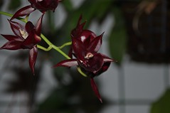 Catamodes Jumbo Riot Sunrise (douneika) Tags: catamodes jumbo riot sunrise orchidea orchidaceae orquidea orchid orchidee taxonomy:family=orchidaceae taxonomy:binomial=catamodesjumboriotsunrise