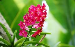 National Orchid Garden (kiwi photo lover) Tags: singapore botanicalgardens unesco worldheritage listing nationalorchidgarden orchidaceae orchid flower stem pink red green sunlit nationalidentity