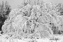 Heavy Wet Snow (dcstep) Tags: colorado cherrycreekstatepark usa allrightsreserved copyright2019davidcstephens dxophotolab3 dsc5024dxo snow heavy wet heavywetsnow tree bent sagging