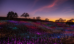 Field of Lights 1 (Rick Derevan) Tags: sensorio fieldoflights oak oaks sunset solar fieldoflight silhouette treesilhouette pasorobles