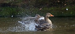 J78A0819 (M0JRA) Tags: birds water lakes views people walks clouds sky parks rufford notingham animals squirrels flying robins ducks geese abbey fields buildings trees