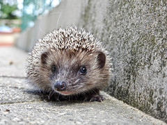 Little hedgehog (Z_marukun) Tags: hedgehog riccio ハリネズミ nikonp900 cuteanimals animal coolpixp900 coolpix bellante abruzzo