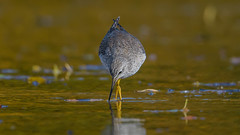 Lesser Yellowlegs  8943 (Paul McGoveran) Tags: bird killdeer lesseryellowlegs nature nikon500mmf4 nikond850 norfolkcounty portdover shorebird silverlake wings coth coth5