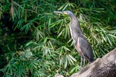 1/2 Onoré fascié/  Fasciated Tiger Heron Costa Rica Album (geolis06) Tags: geolis06 amérique america costa rica puertoviejodesarapiquí nature fasciatedtigerheron tigrisomafasciatum costarica2019 oiseauxcostarica onoréfascié