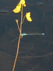 Unidentified blue damselfly 1 (SierraSunrise) Tags: thailand phonphisai nongkhai isaan esarn animals insects damselfly damselflies blue plants flowers yellow aquatic wetland