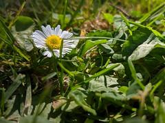 Daisy, Daisy... (Kelson) Tags: plants flowers nature butterflies fieryskipper lantana