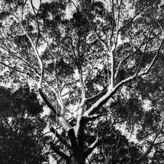 Sydney (Bill Thoo) Tags: sydney nsw newsouthwales australia tree monochrome blackandwhite bnw bw papernegative washi filmwashi washiw hasselblad hasselblad500cm 500cm film analog analogue filmphotography 120 6x6 mediumformatcamera mediumformatfilm mediumformat filmcamera zeiss ultralowiso