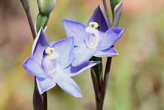 DSC_4184 Slender sun orchid on my lawn (7) (jeaniephelan) Tags: orchid flower wildflower sunorchid scentedsunorchid greatsunorchid