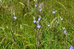 DSC_4238 sun orchids Slender - Thelymitra pauciflora (jeaniephelan) Tags: flower orchid sunorchid