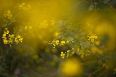 (louisa_catlover) Tags: karwarra karwarraaustraliannativebotanicgarden garden nature outdoor spring kalorama dandenongs melbourne victoria australia plant flowers native australian bokeh dof helios helios442 m42 manual yellow pea