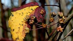 Blatt und Samenkapseln (dl1ydn) Tags: dl1ydn blasenspiere fasanenspiere garden autumn herbst blätter leaf samenkapseln carlzeiss planar 50mmf2 contarex manuell manualfocus nahaufnahmen closeup