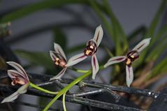 Cymbidium dayanum (douneika) Tags: cymbidium dayanum orchidea orchidaceae orquidea orchid orchidee taxonomy:family=orchidaceae taxonomy:binomial=cymbidiumdayanum