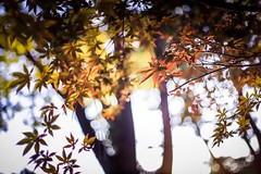 reddest leaves (Yuki (8-ballmabelleamie)) Tags: autumn fall morning park street sunlight backlight lowangle 紅葉