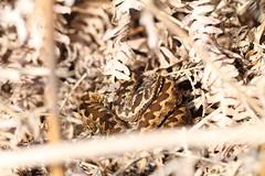 Adder (ChristianMoss) Tags: adder snake reptile vipera berus
