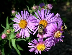 Lunch Time (shelly.morgan50 (mostly off)) Tags: shellymorgan50 panasoniclumixdczs200 purple flower flowers flowerphotography midwest usa garden insects nature sunshine light closeup bees bokeh macro colorful sunny asters details