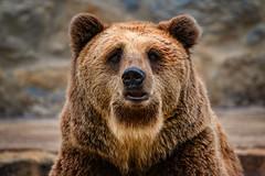 Braunbär (Roman Achrainer) Tags: braunbär bär zoo tier achrainer lissabon tierpark natur