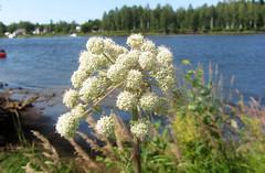 (helena.e) Tags: helenae husbil rv motorhome älsa semester vacation holiday campkajutan flower blomma skellefteälven water vatten