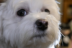 Are we done yet Mommy?? (Dotsy McCurly) Tags: bunny cute dog maltese white hair canoneos80d efs35mmf28macroisstm