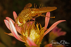 Eyelash Winner : Tachnid Fly (Gardeners Friend) (franklin331) Tags: aster autumn bliss blissdinosaurranch blissphotographics blissranch bokeh bug dinner eating eye eyelash eyelashwinner eyes flower goldenfly hair hairybutt heybrowneyes lastmanstanding parasiticlarva petals pink pistol pollen spikes stamen tachnid tachnidfly wings
