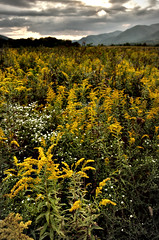 Field of Goldenrod- Cades Cove Fuji xt10 18-55mm (ToddGraves2) Tags: