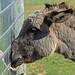 Donkey Kiss