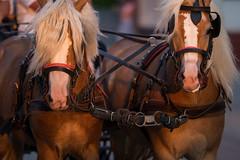Hellbraune Pferde mit langen Mähnen ziehen einen Pferdewagen