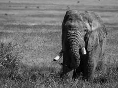 LONE NGORONGORO ELLIE (eliewolfphotography) Tags: elephant elephants endangered animals african tanzania travel nature naturelovers nikon naturephotography natgeo naturephotographer ngorongoro ngorongorcrater bw explore